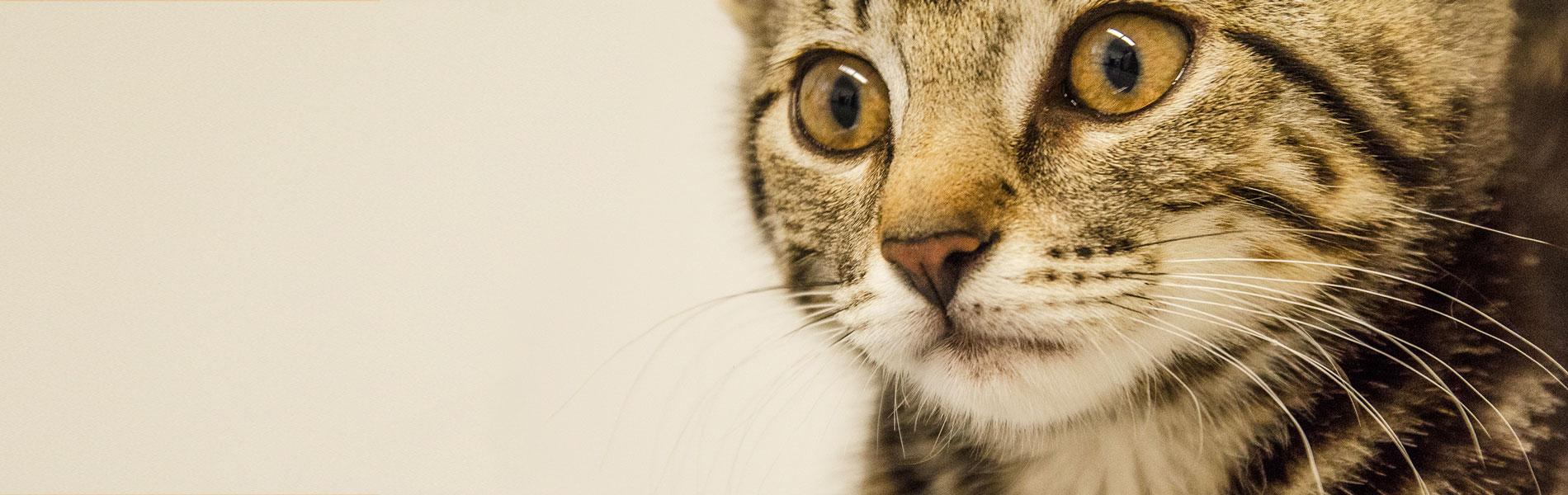 Vaccinatie en titreren bij de kat